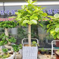 뱅갈고무나무(2호)
