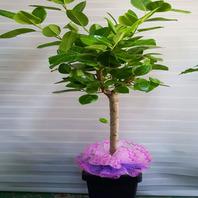 뱅갈고무나무 공기정화식물