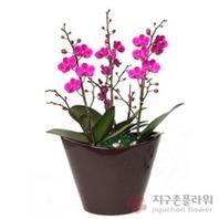 미니호접 만천홍